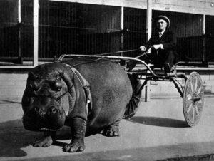 Esse hipopótamo de circo puxando uma carroça.
