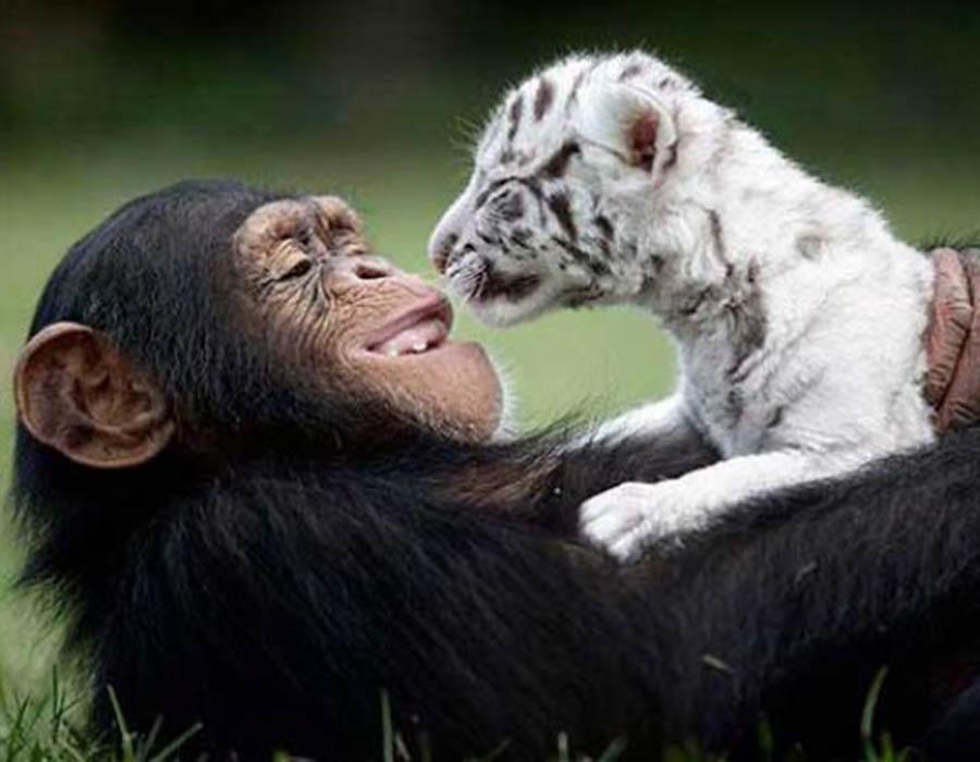 a-amizade-desse-macaquinho-e-um-tigre-albino