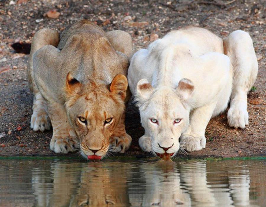 a-beleza-no-contraste-de-cores-dessas-duas-leoas