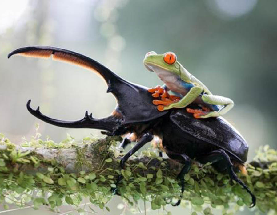 uma-ra-pegando-carona-no-besouro