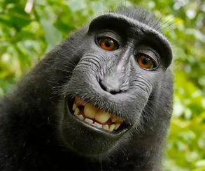 O macaco é o dono desta foto segundo a PETA. Veja o porquê.